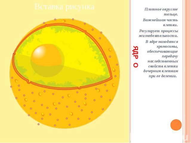 ЯДР О Плотное округлое тельце. Важнейшая часть клетки. Регулирует процессы жизнедеятельности. В ядре находятся хромосомы, обеспечивающие передачу наследственных свойств клетки дочерним клеткам при ее делении.