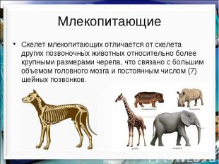 Млекопитающие Скелет млекопитающих отличается от скелета других позвоночных живо
