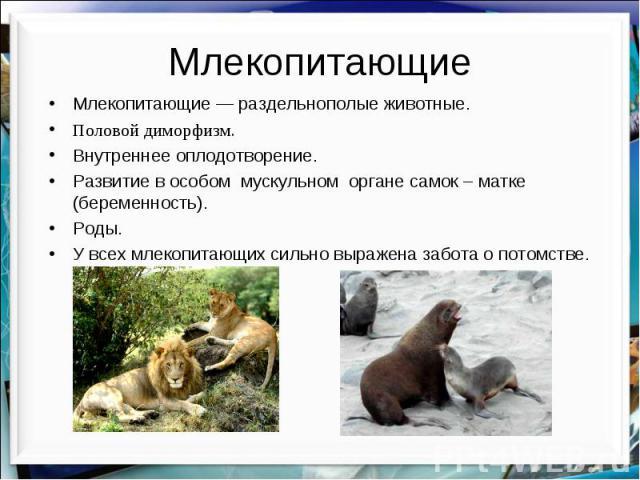 Млекопитающие Млекопитающие — раздельнополые животные. Половой диморфизм. Внутреннее оплодотворение. Развитие в особом мускульном органе самок – матке (беременность). Роды. У всех млекопитающих сильно выражена забота о потомстве.