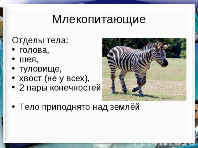 Млекопитающие Отделы тела: голова, шея, туловище, хвост (не у всех), 2 пары конечностей. Тело приподнято над землёй