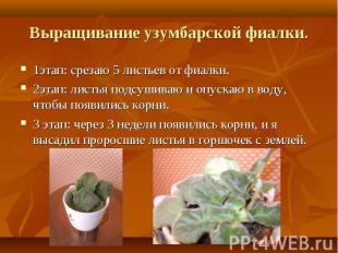 1этап: срезаю 5 листьев от фиалки. 1этап: срезаю 5 листьев от фиалки. 2этап: лис