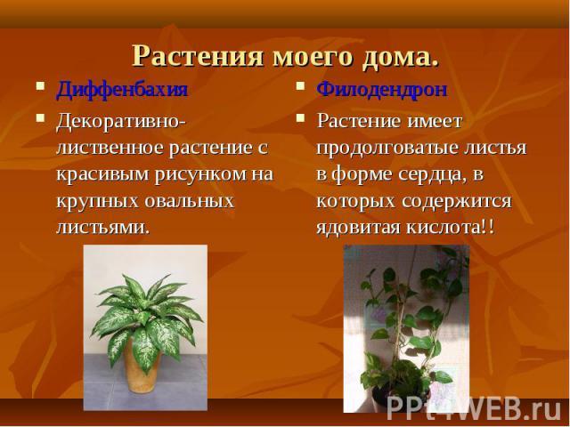 Диффенбахия Диффенбахия Декоративно-лиственное растение с красивым рисунком на крупных овальных листьями.