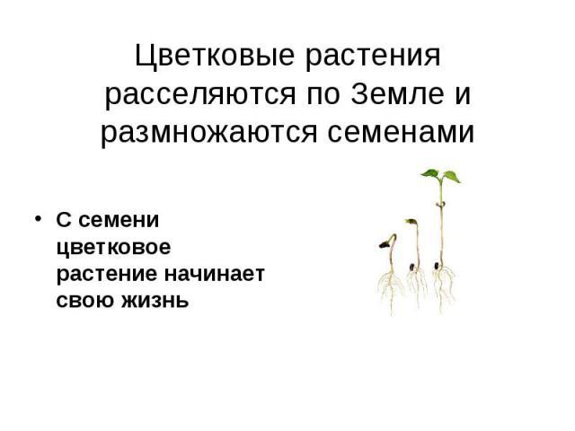 С семени цветковое растение начинает свою жизнь С семени цветковое растение начинает свою жизнь