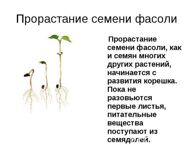 Прорастание семени фасоли, как и семян многих других растений, начинается с развития корешка. Пока не разовьются первые листья, питательные вещества поступают из семядолей. Прорастание семени фасоли, как и семян многих других растений, начинается с …
