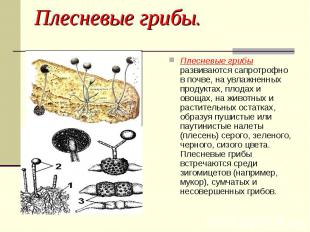 Плесневые грибы развиваются сапротрофно в почве, на увлажненных продуктах, плода
