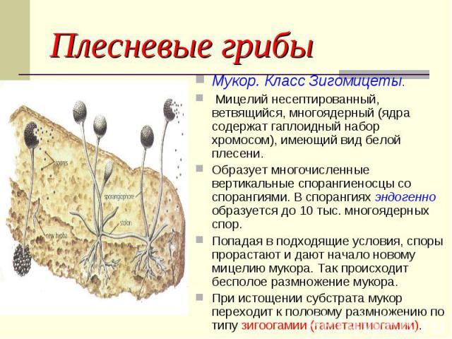 Мукор. Класс Зигомицеты. Мукор. Класс Зигомицеты. Мицелий несептированный, ветвящийся, многоядерный (ядра содержат гаплоидный набор хромосом), имеющий вид белой плесени. Образует многочисленные вертикальные спорангиеносцы со спорангиями. В спорангия…
