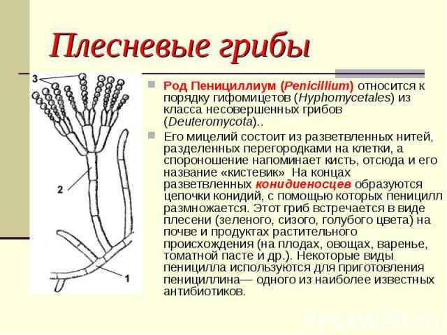 Род Пенициллиум (Penicillium) относится к порядку гифомицетов (Hyphomycetales) из класса несовершенных грибов (Deuteromycota).. Род Пенициллиум (Penicillium) относится к порядку гифомицетов (Hyphomycetales) из класса несовершенных грибов (Deuteromyc…