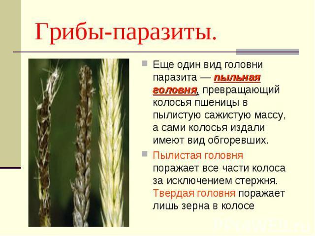 Еще один вид головни паразита — пыльная головня, превращающий колосья пшеницы в пылистую сажистую массу, а сами колосья издали имеют вид обгоревших. Еще один вид головни паразита — пыльная головня, превращающий колосья пшеницы в пылистую сажистую ма…