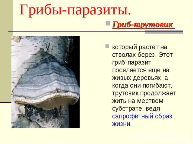 Гриб-трутовик Гриб-трутовик который растет на стволах берез. Этот гриб-паразит поселяется еще на живых деревьях, а когда они погибают, трутовик продолжает жить на мертвом субстрате, ведя сапрофитный образ жизни.