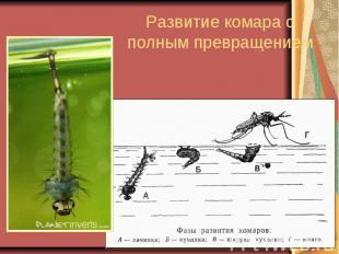 Развитие комара с полным превращением