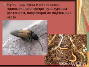 Жуки – щелкуны и их личинки – проволочники вредят культурным растениям, поврежда