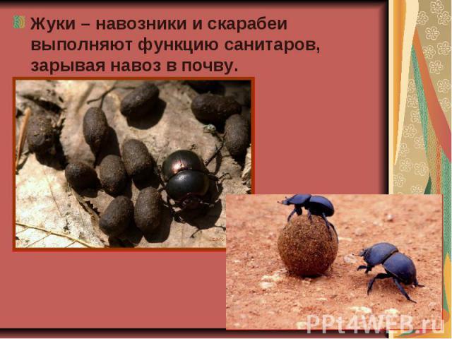 Жуки – навозники и скарабеи выполняют функцию санитаров, зарывая навоз в почву. Жуки – навозники и скарабеи выполняют функцию санитаров, зарывая навоз в почву.