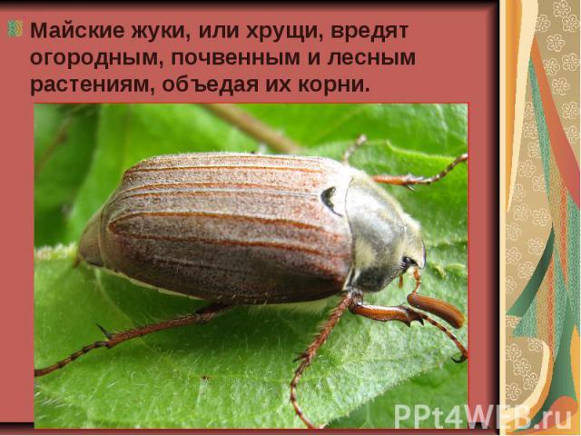 Майские жуки, или хрущи, вредят огородным, почвенным и лесным растениям, объедая их корни. Майские жуки, или хрущи, вредят огородным, почвенным и лесным растениям, объедая их корни.