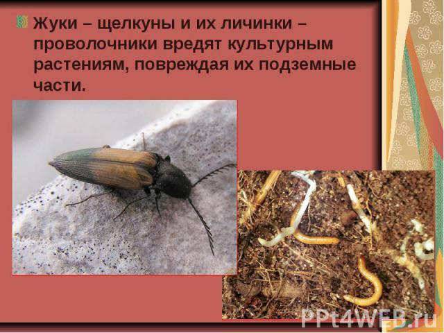 Жуки – щелкуны и их личинки – проволочники вредят культурным растениям, повреждая их подземные части. Жуки – щелкуны и их личинки – проволочники вредят культурным растениям, повреждая их подземные части.