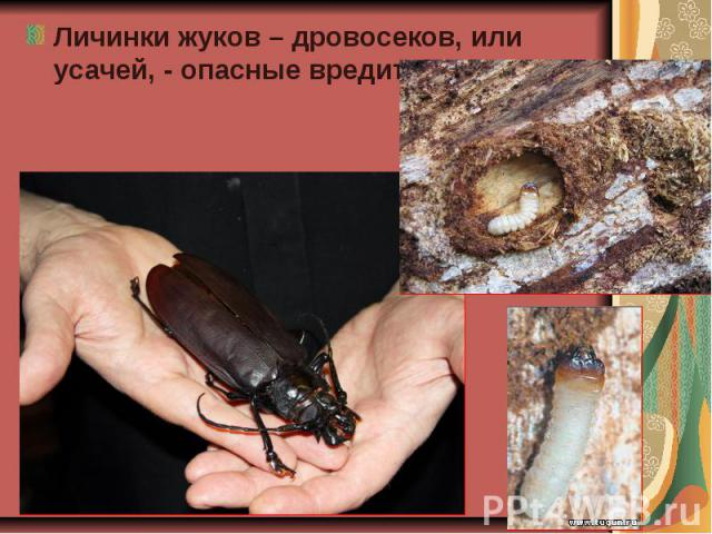 Личинки жуков – дровосеков, или усачей, - опасные вредители леса. Личинки жуков – дровосеков, или усачей, - опасные вредители леса.