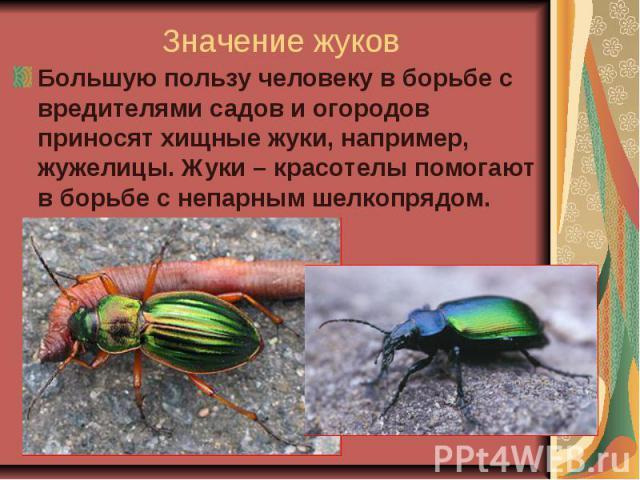 Значение жуков Большую пользу человеку в борьбе с вредителями садов и огородов приносят хищные жуки, например, жужелицы. Жуки – красотелы помогают в борьбе с непарным шелкопрядом.