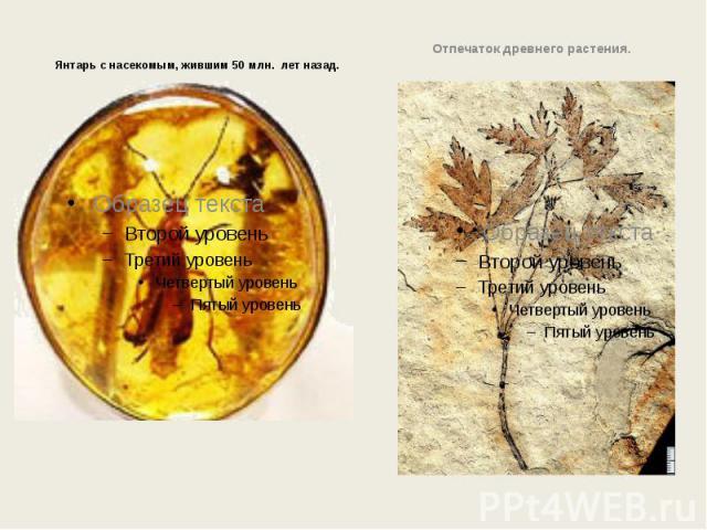Янтарь с насекомым, жившим 50 млн. лет назад. Янтарь с насекомым, жившим 50 млн. лет назад.
