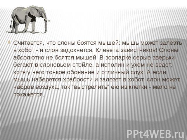 Считается, что слоны боятся мышей: мышь может залезть в хобот - и слон задохнется. Клевета завистников! Слоны абсолютно не боятся мышей. В зоопарке серые зверьки бегают в слоновьем стойле, а исполин и ухом не ведет, хотя у него тонкое обоняние и отл…