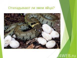 Откладывают ли змеи яйца?
