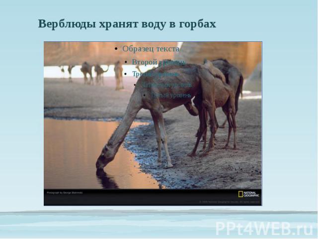 Верблюды хранят воду в горбах