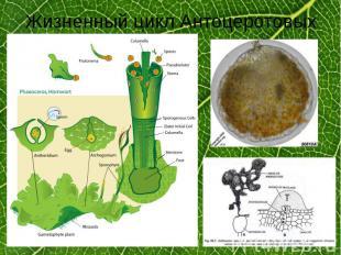 Жизненный цикл Антоцеротовых