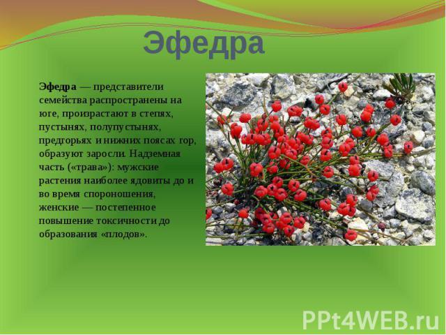 Эфедра