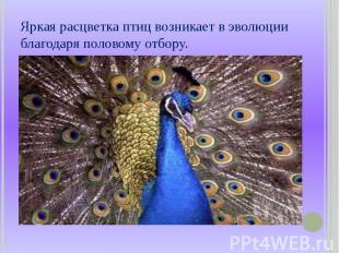 Яркая расцветка птиц возникает в эволюции благодаря половому отбору.
