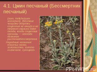 4.1. Цмин песчаный (Бессмертник песчаный) (лат.Helichrýsum arenárium). Жёс