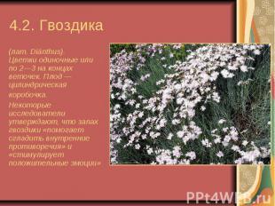 4.2. Гвоздика  (лат.Diánthus). Цветкиодиночные или по 2—3 на к