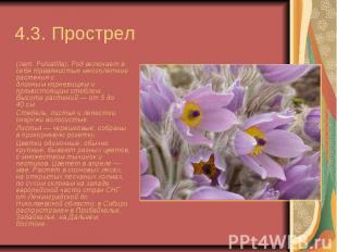 4.3. Прострел (лат.Pulsatílla). Род включает в себя травянистые многолетни