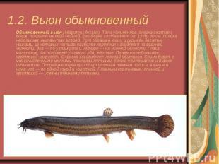 1.2. Вьюн обыкновенный Обыкновенный вьюн(Misgurnus fossilis). Тело удлинён