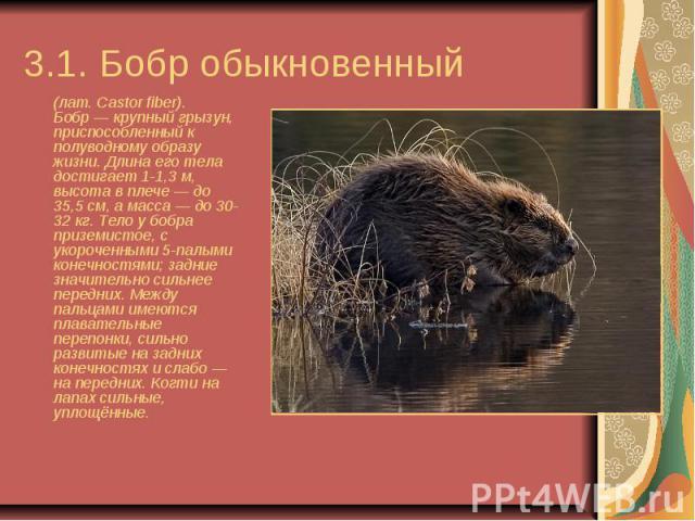 3.1. Бобр обыкновенный (лат.Castor fiber). Бобр— крупный грызун, приспособленный к полуводному образу жизни. Длина его тела достигает 1-1,3м, высота в плече— до 35,5см, а масса— до 30-32кг. Тело у бобра приз…