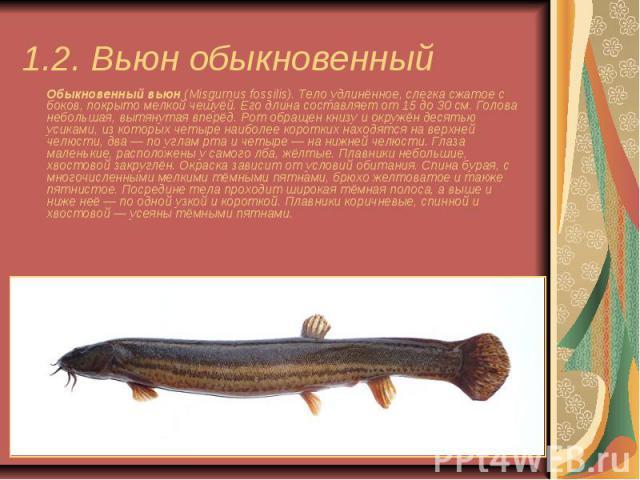 1.2. Вьюн обыкновенный Обыкновенный вьюн(Misgurnus fossilis). Тело удлинённое, слегка сжатое с боков, покрыто мелкой чешуёй. Его длина составляет от 15 до 30 см. Голова небольшая, вытянутая вперёд. Рот обращен книзу и окружён десятью усиками, …