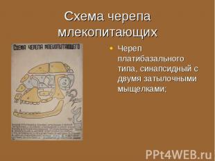 Череп платибазального типа, синапсидный с двумя затылочными мыщелками; Череп пла
