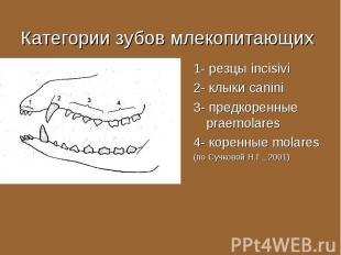 1- резцы incisivi 1- резцы incisivi 2- клыки canini 3- предкоренные praemolares