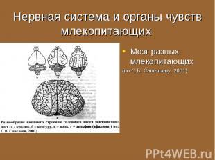 Мозг разных млекопитающих Мозг разных млекопитающих (по С.В. Савельеву, 2001)