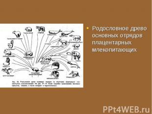 Родословное древо основных отрядов плацентарных млекопитающих Родословное древо