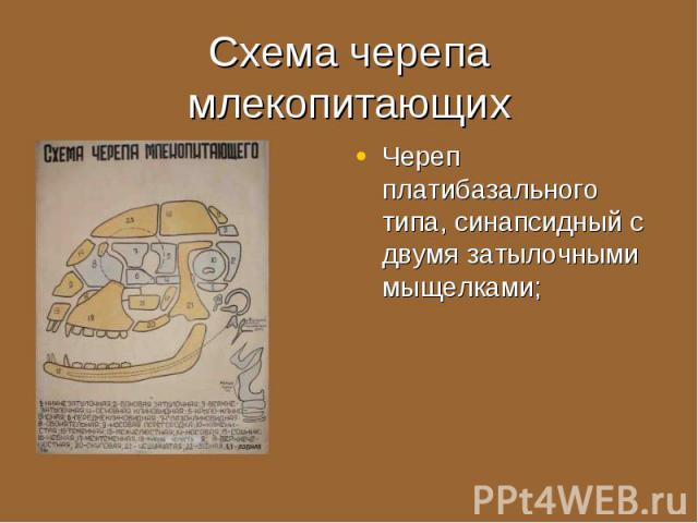 Череп платибазального типа, синапсидный с двумя затылочными мыщелками; Череп платибазального типа, синапсидный с двумя затылочными мыщелками;