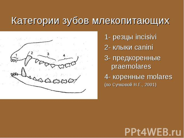 1- резцы incisivi 1- резцы incisivi 2- клыки canini 3- предкоренные praemolares 4- коренные molares (по Сучковой Н.Г., 2001)