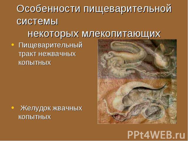 Пищеварительный тракт нежвачных копытных Пищеварительный тракт нежвачных копытных Желудок жвачных копытных