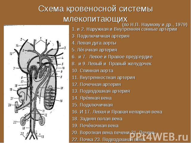 1. и 2. Наружная и Внутренняя сонные артерии 1. и 2. Наружная и Внутренняя сонные артерии 3 Подключичная артерия 4. Левая дуга аорты 5. Лёгочная артерия 6. и 7. Левое и Правое предсердие 8. и 9. Левый и Правый желудочек 10. Спинная аорта 11. Внутрен…