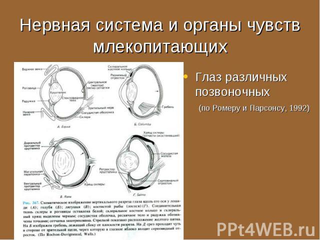 Глаз различных позвоночных (по Ромеру и Парсонсу, 1992) Глаз различных позвоночных (по Ромеру и Парсонсу, 1992)