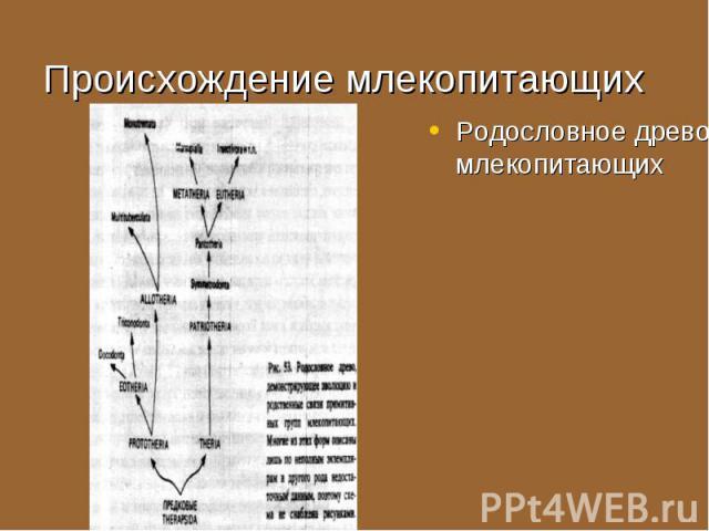 Родословное древо млекопитающих Родословное древо млекопитающих