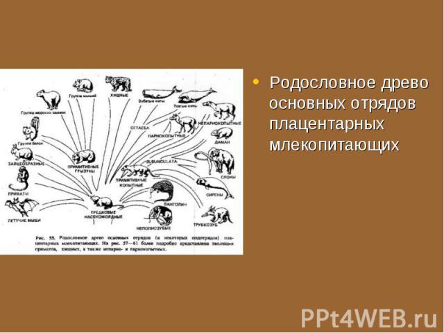 Родословное древо основных отрядов плацентарных млекопитающих Родословное древо основных отрядов плацентарных млекопитающих