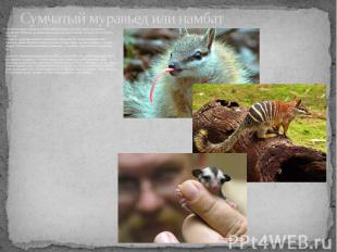 Сумчатый муравьед или намбат - млекопитающее, являющееся единственным представит