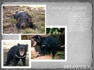 Сумчатый дьявол Живет только на Тасмании; иногда его даже называют тасманийский