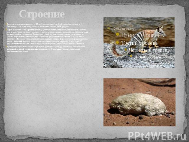 Строение Размеры тела сильно варьируют: от 10 см (сумчатые мыши) до 3 м (большой рыжий кенгуру). Температура тела ниже, чем у большинства млекопитающих: 34-36 градусов. Одной из особенностей строения скелета у сумчатых является наличие сумчатых кост…