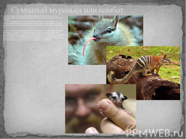 Сумчатый муравьед или намбат - млекопитающее, являющееся единственным представителем семейства сумчатых муравьедов. Впервые это удивительное животное было описано зоологом Уотерхаусом в 1836 году. Сумчатые муравьеды являются эндемиками Австралии. На…