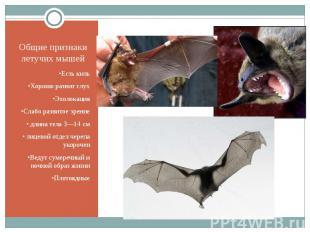 Общие признаки летучих мышей •Есть киль •Хорошо развит слух •Эхолокация •Слабо р