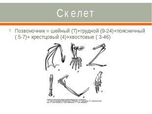 Скелет Позвоночник = шейный (7)+грудной (9-24)+поясничный ( 5-7)+ крестцовый (4)
